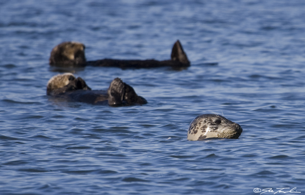Harbor seal and resting sea otters