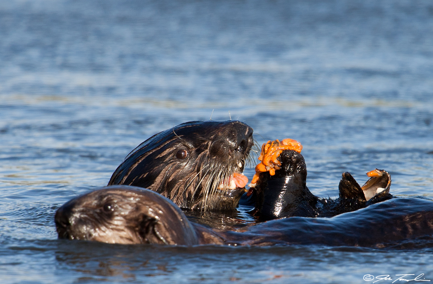 Mom keeps a watchful eye on pup while eating a mussel