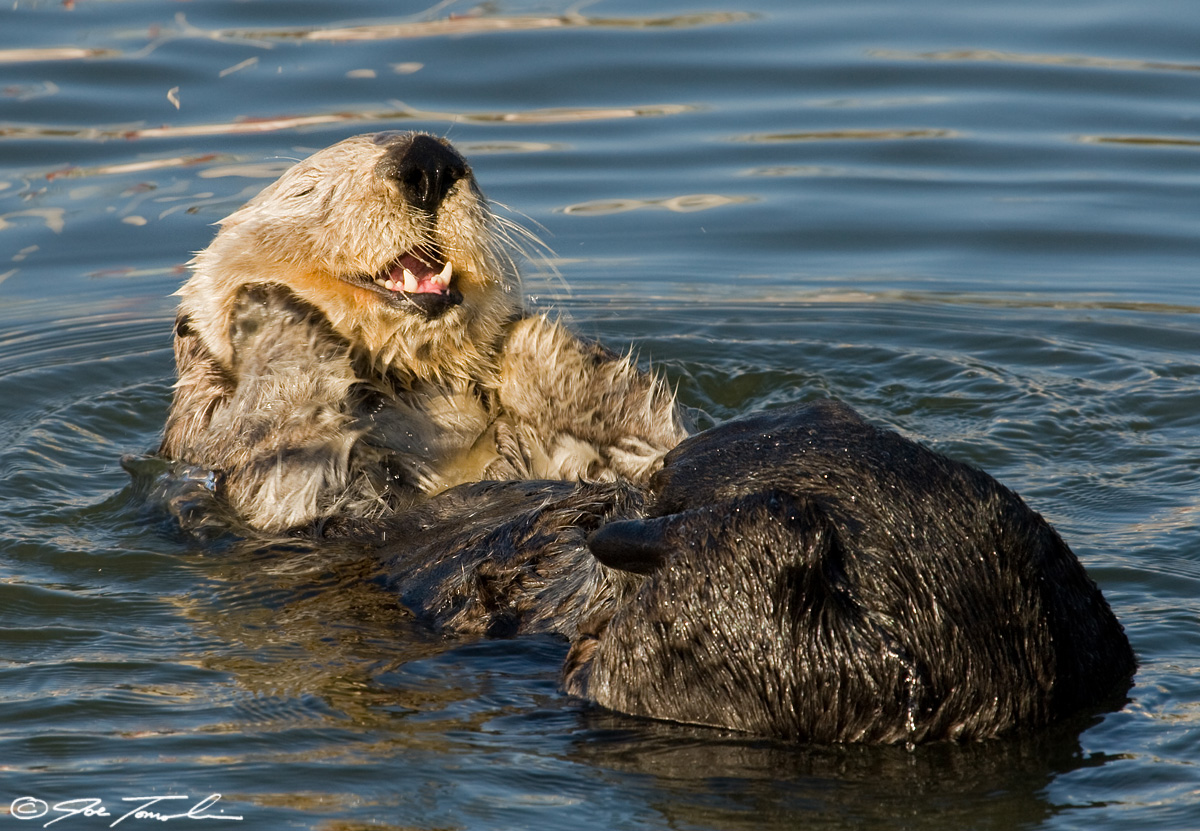 Sea otter grooming in Moss Landing Harbor