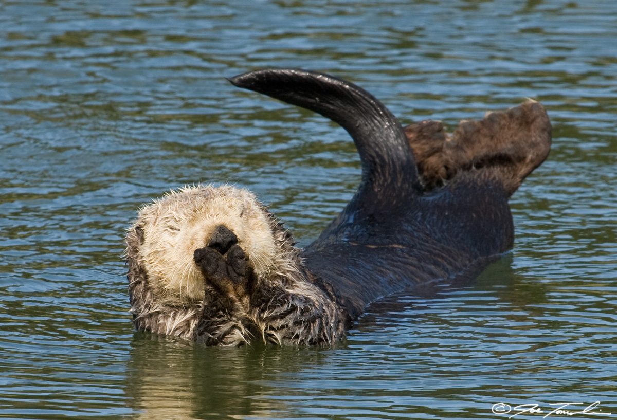 Resting sea otter has a stretch
