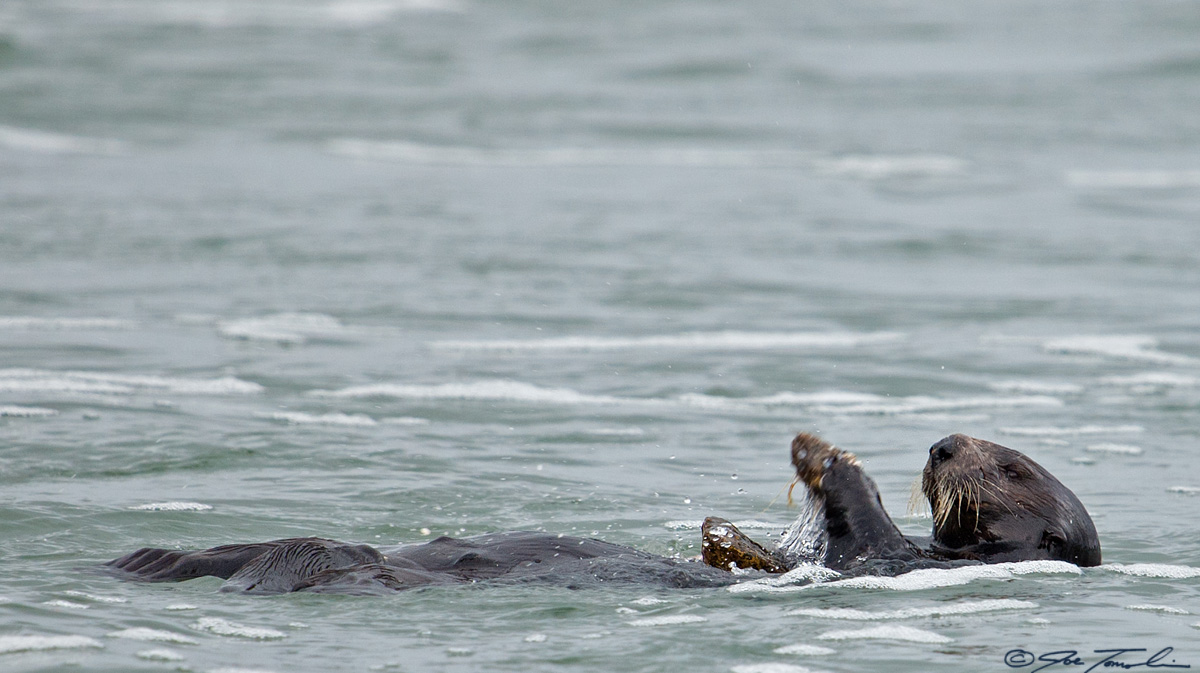Sea otter using a bottle as a tool to crack a mussel