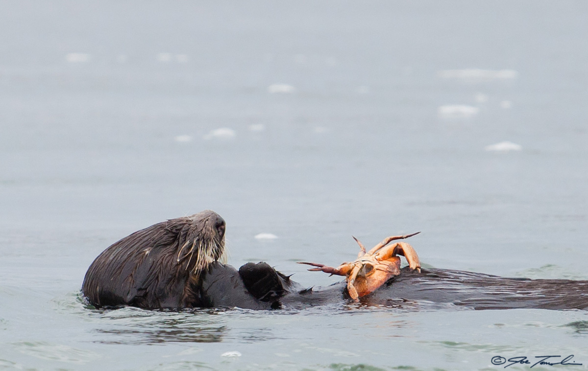 Young sea otter eating a rock crab