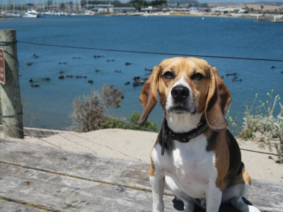 Harry the sea otter savvy beagle