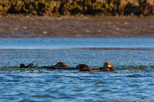 Eelgrass Raft in Elkhorn Slough, Josh Lacayo