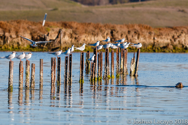 Line Up: Sea Otter and Forster's Terns, Josh Lacayo