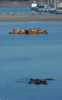 Sea otter savvy kayakers give sea otters plenty of space in Moss Landing