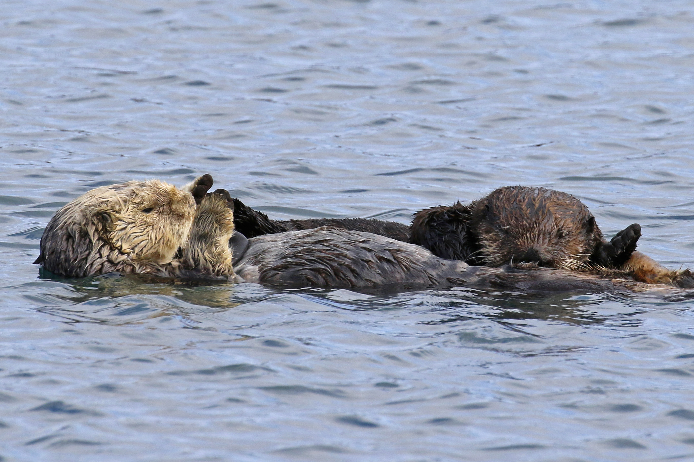How long do sea otters nurse their pups?