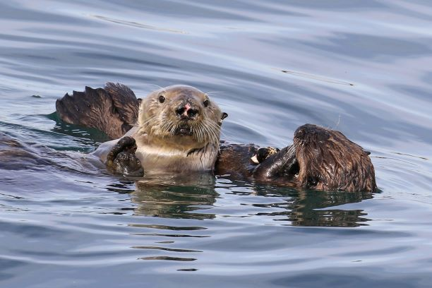 How long will a female sea otter continue to have pups?