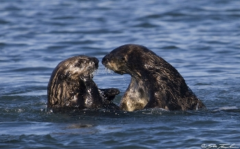 otters interacting jt