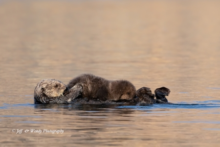 A mother sea otter and her nursing pup are left undisturbed for this portrait by Jeff and Wendy
