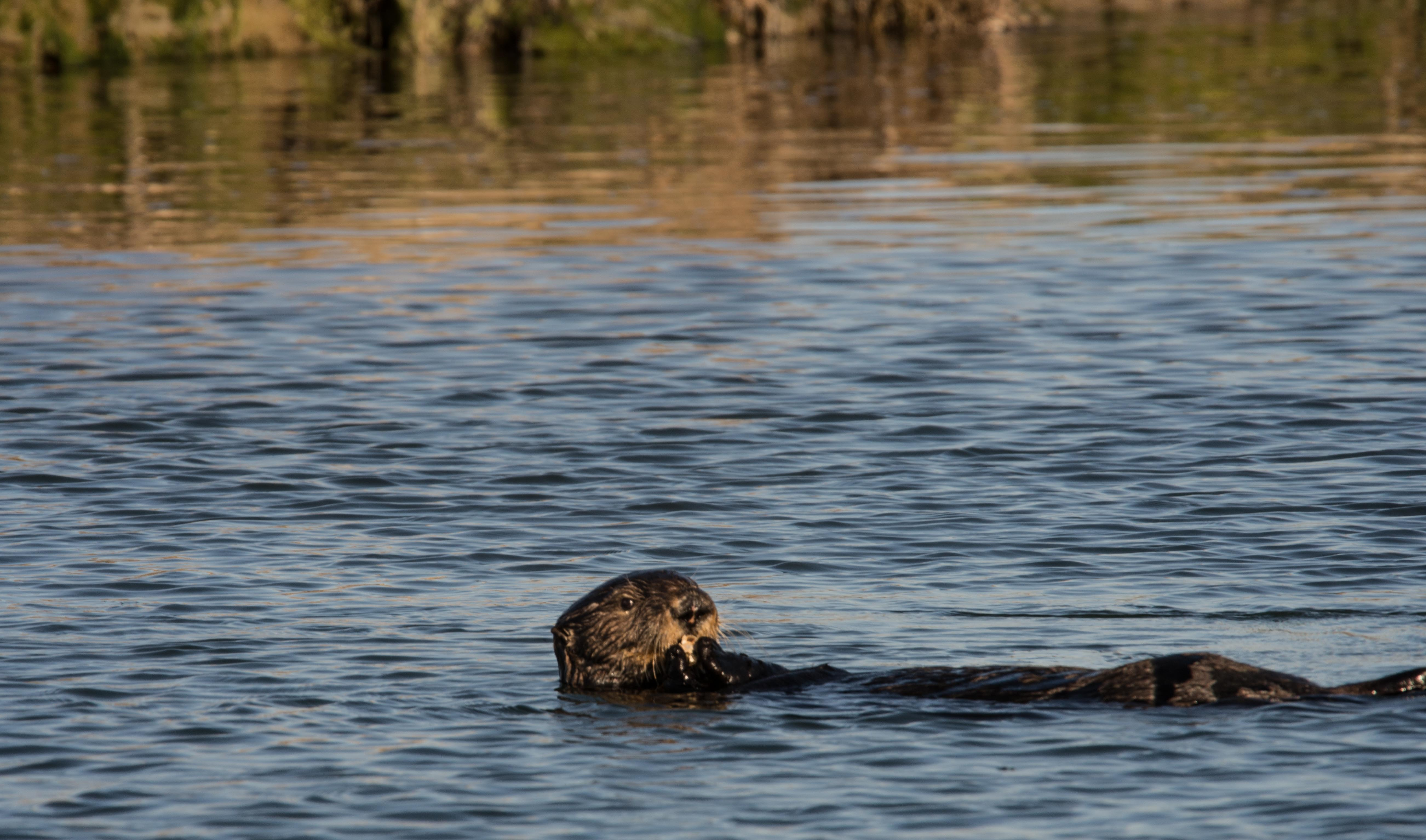Sea Otter with Prey, Terry and David Schuller