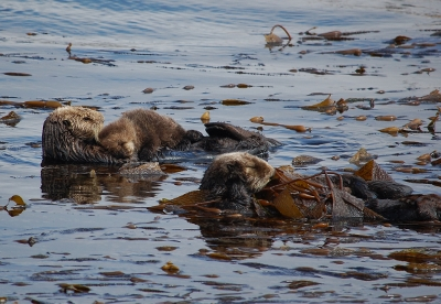 sea otter mom pup 400