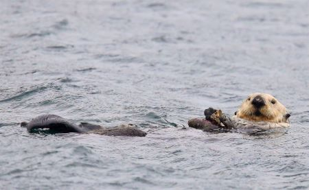 Sea otter eating a turban snail. Photo by Erin Rechsteiner