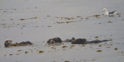 sni raft otters pups