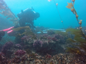 Research diver records species complexity at San Nicolas Island. Photo by Zach Randell